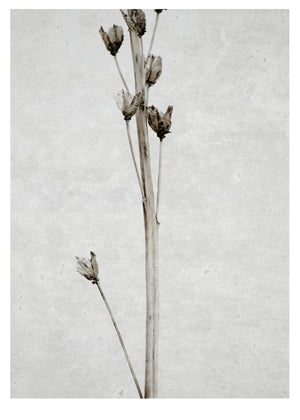 Dried Flower 2 fra Ingrey Studio
