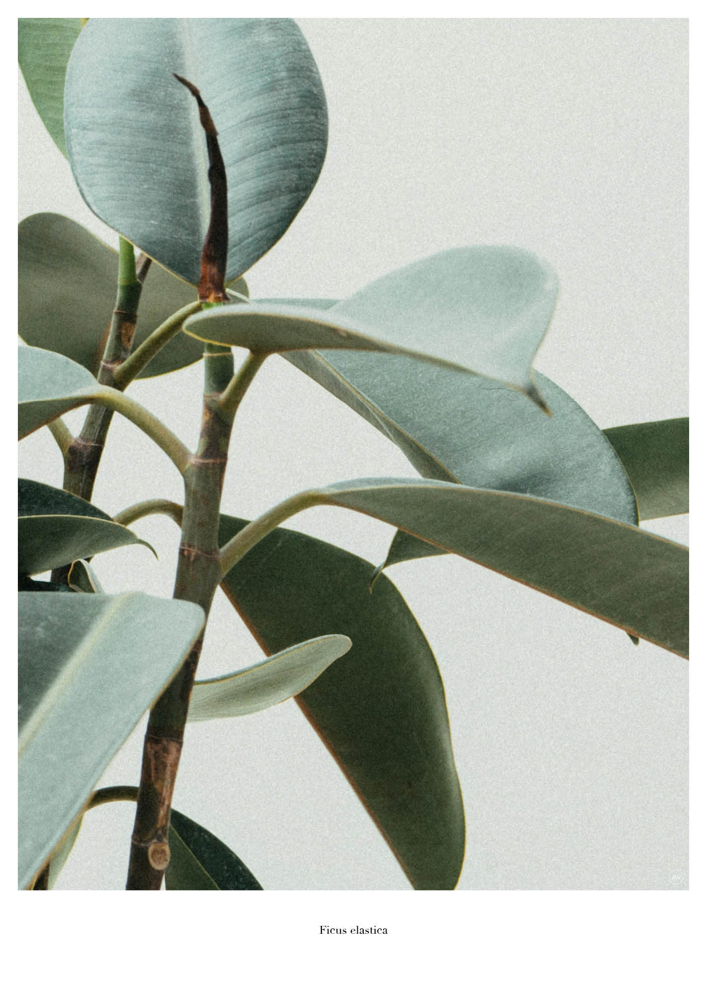 Ficus Elastica fra Beautiful World