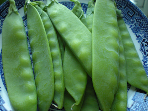"""Yakumo Giant"" Pea Seeds - Edible Antiques"