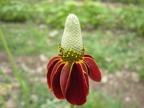 """Mexican Hat"" Seeds - Edible Antiques"