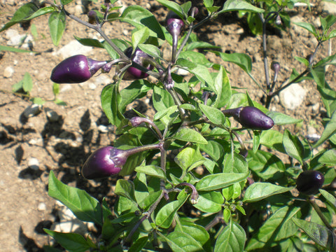 """Filius Blue"" Pepper Seeds - Edible Antiques"