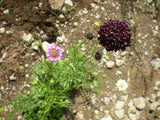 """Pincushion"" Scabiosa Seeds mix - Edible Antiques"