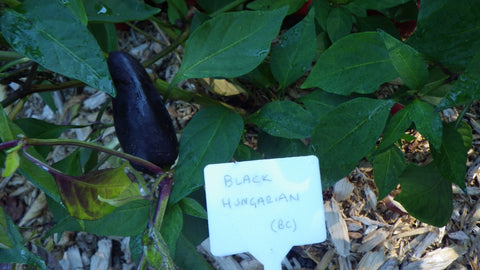"""Black Hungarian"" Pepper Seeds"