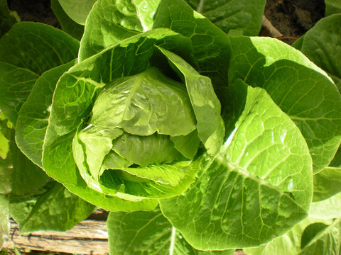 """Chartwell"" Lettuce Seeds - Edible Antiques"