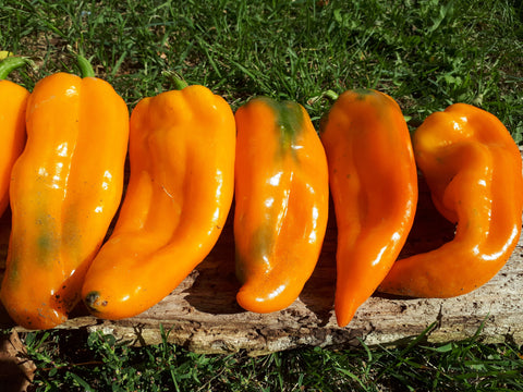 """Lively Sweet Italian Orange"" Pepper Seeds"