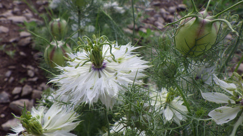 """Miss Jekyll White"" Nigella Seeds"