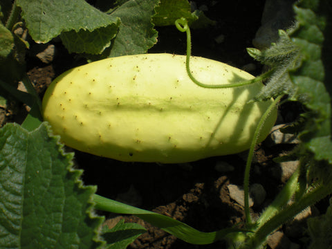 """Port Albert"" Cucumber"