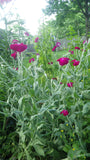 """Rose Campion"" Seeds"