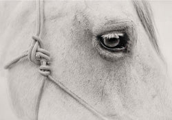 Portrait of a Horse ii