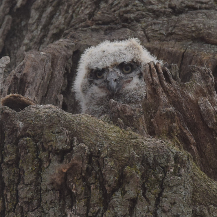 baby great horned owl in nest