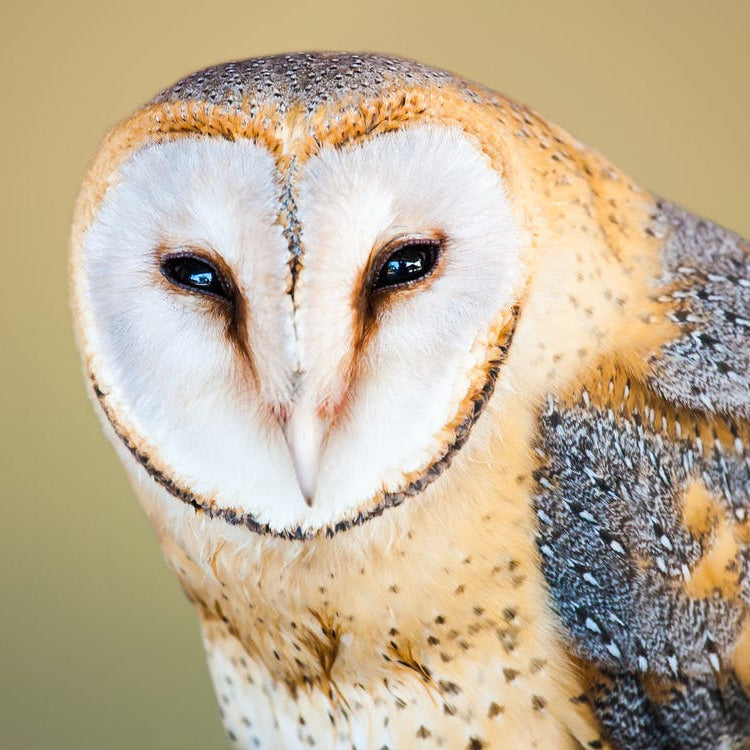 Barn Owls: Habitat, Diet, Calls, and other Facts