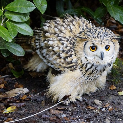 nervous owl about to take flight