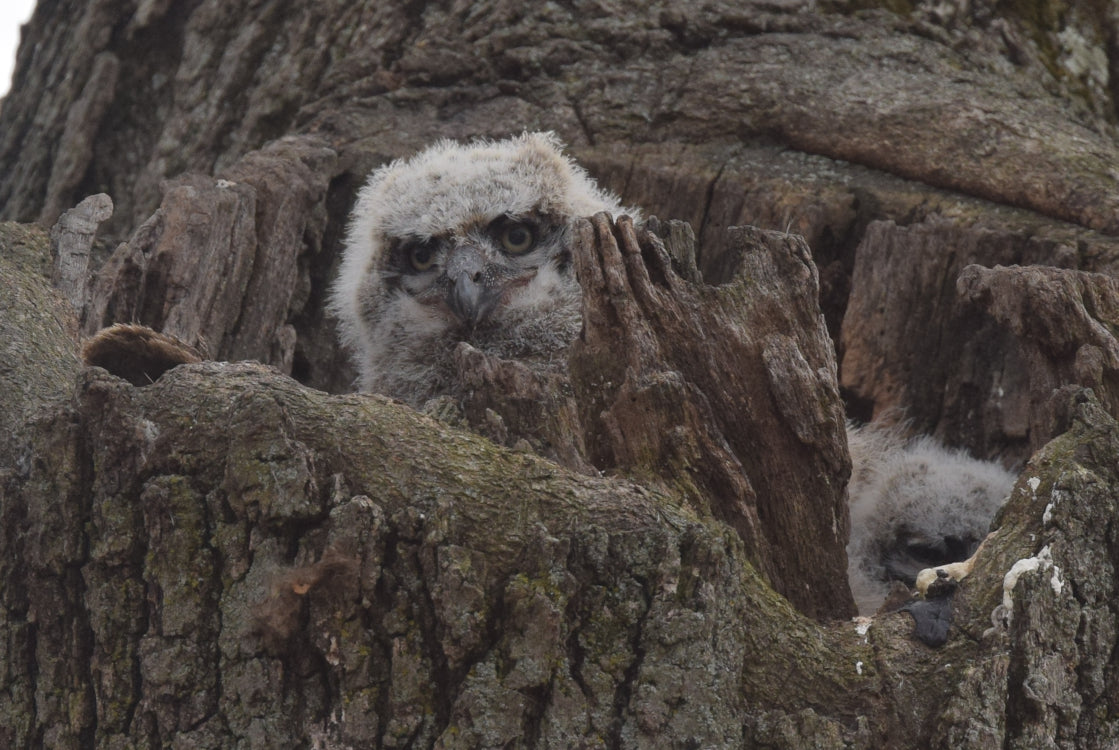 baby great horned owls spotted in nest