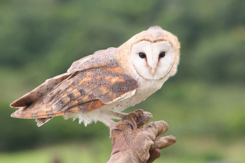 barn owl with heart-shaped face