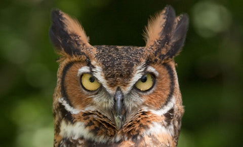 great horned owl face with ear tufts