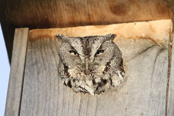 Screech Owl in owl house