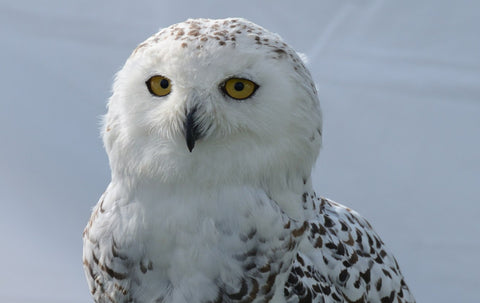 snowy owl, female with black spots on white feathers