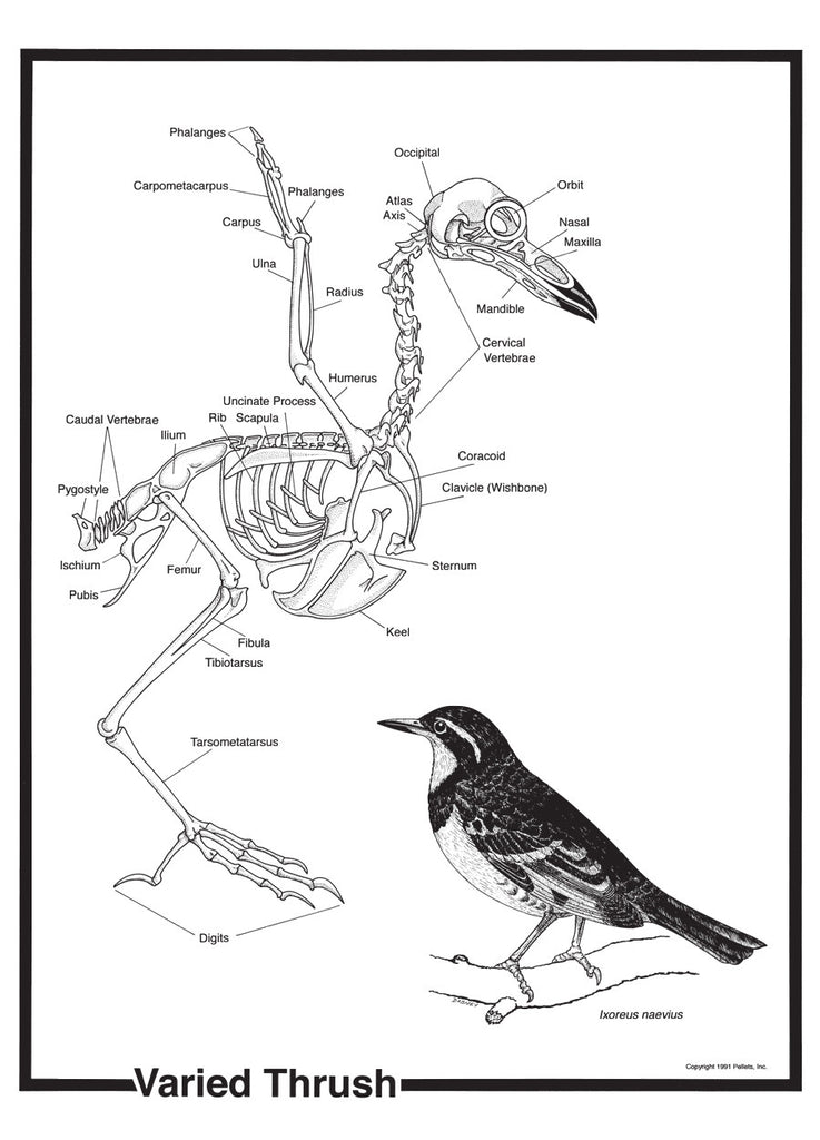 Bird Skeleton Poster