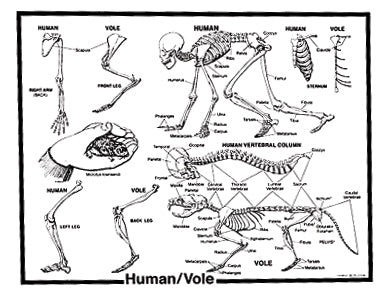 Human-Vole Skeleton Charts - Card Stock