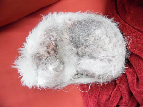 Maltese terrier with severe skin disease