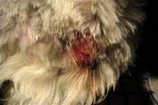 Dog Hot Spot AKA Acute Moist Dermatitis (Bacterial infection)