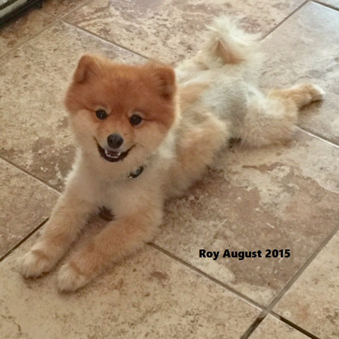 Roy Boy the Pomeranian dog shaved causes hair loss and dark skin