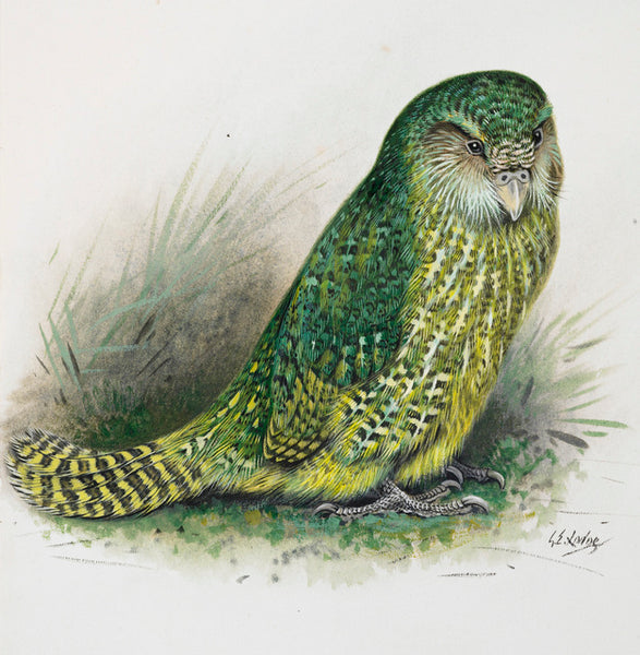 Kakapo by George Lodge
