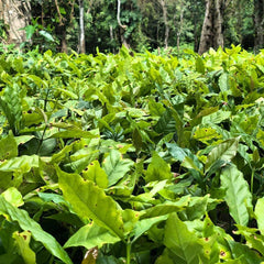 Young Arabica Plants (photocredit: South India Coffee Company)