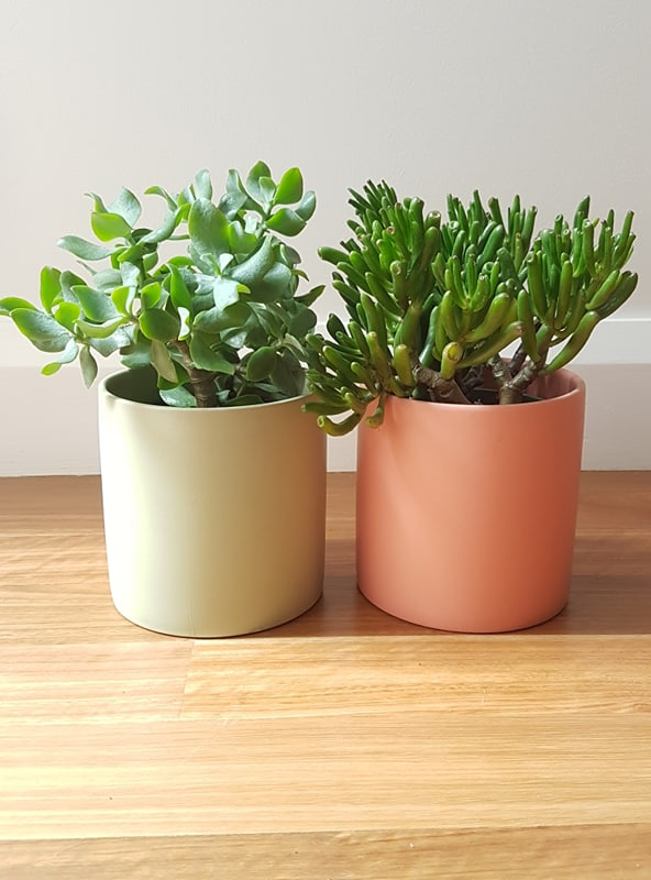 Finger Jade Succulent + Large Pot