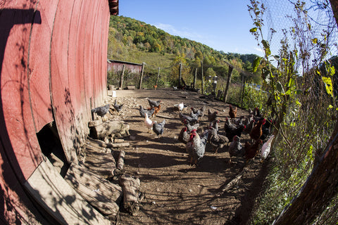 Chicken Barn through Fisheye
