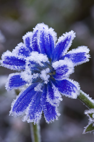 Frost Covered Chicory