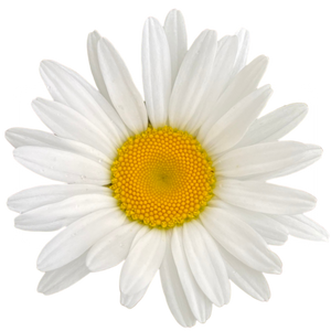 A Daisy a Day for Reconciliation:  this is just the start.