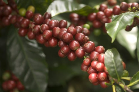 Clifton Coffee - Costa Rica: Finca Haceinda Valerio (Natural)