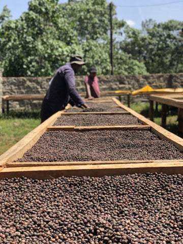 Clifton Coffee Roasters: Kenya, Kiambu Estate - Special Sundried, Natural