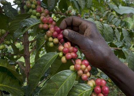 Dear Green Coffee - Kenya - Makena, Kirinyaga - washed