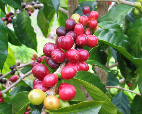 Dear Green Coffee - Sumatra Wahana - Longberry