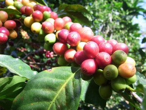 Foundry Coffee Roasters - Agustino Forest Huila, Colombia