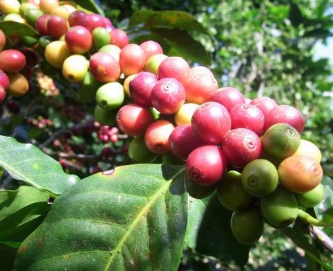 Foundry Coffee Roasters - El Paraiso Estate Microlot – Colombia