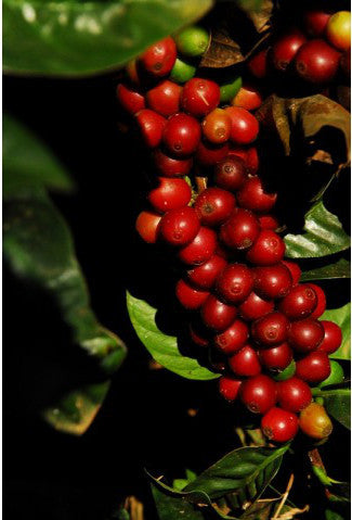 Silver Oak Coffee - Single Estate: Fazenda Progresso, Brazil alternate image 1