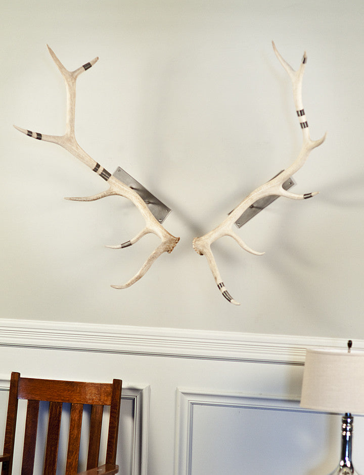 Antler Wall Mount Elk Natural Wire Wrapped Phylum