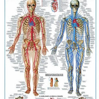 Circulatory System-Puzzle-Eurographics-Doctor Panush