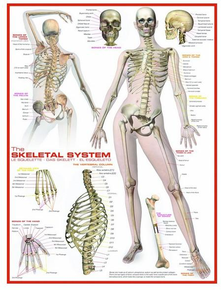 The Skeletal System-Puzzle-Eurographics-Doctor Panush