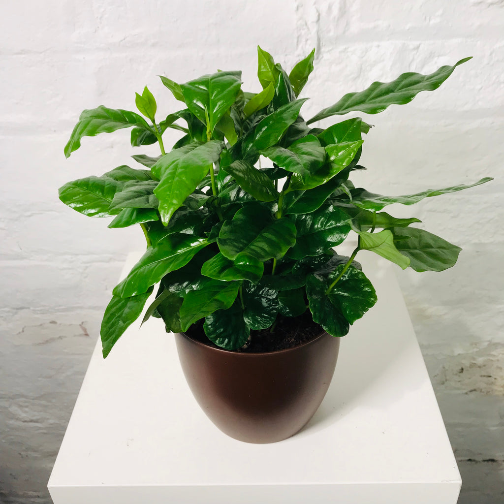 Coffea Arabica (Coffee Plant in pot)