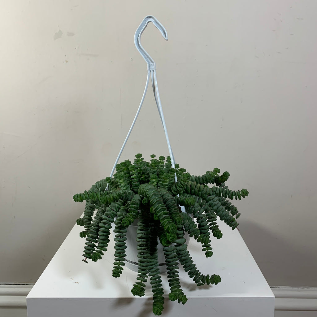 Crassula Hottentot (Jade Necklace Vine)