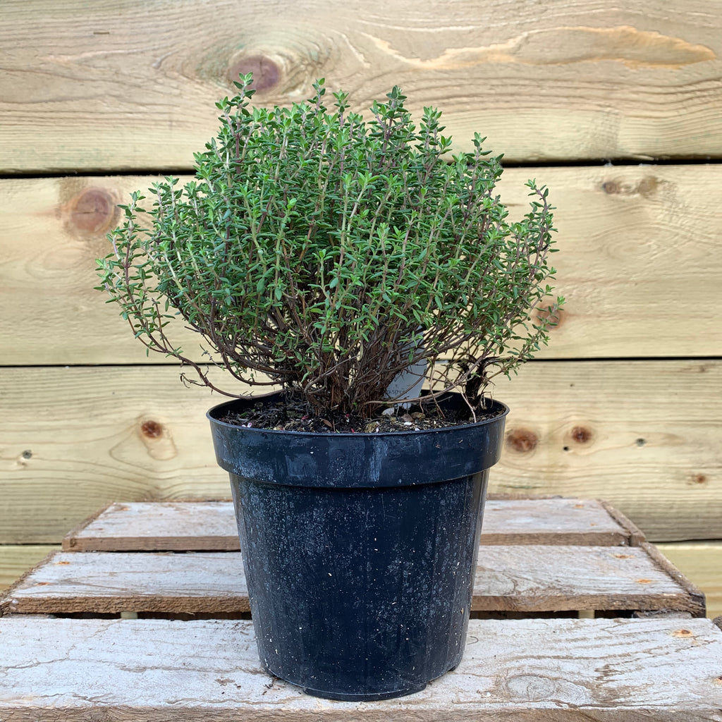Thyme (Thyme)