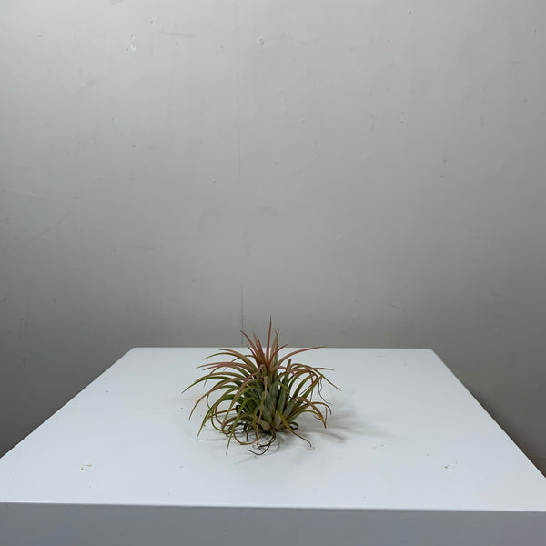 Tillandsia (Air Plant)