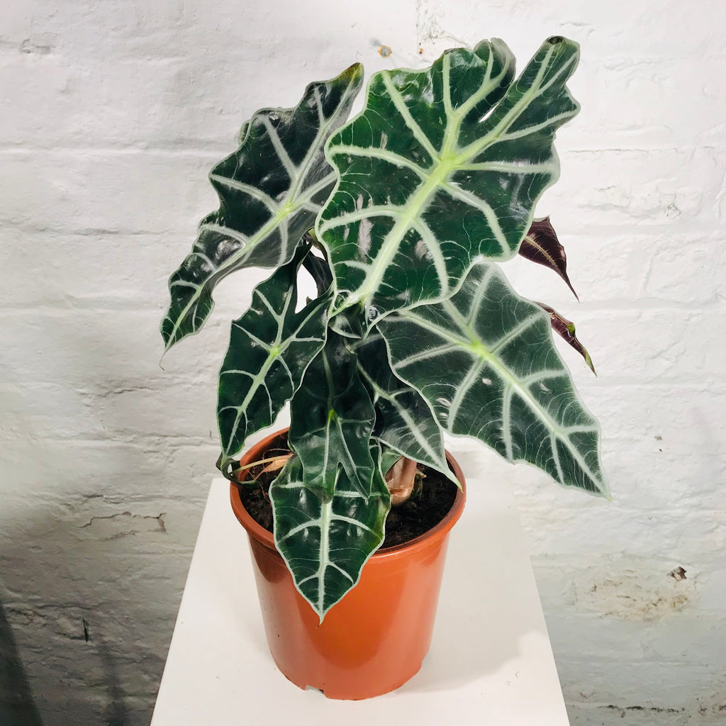 Alocasia Polly (Elephant Ear)