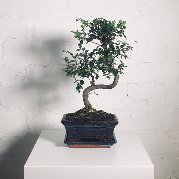 Bonsai (Bonsai in Pot)