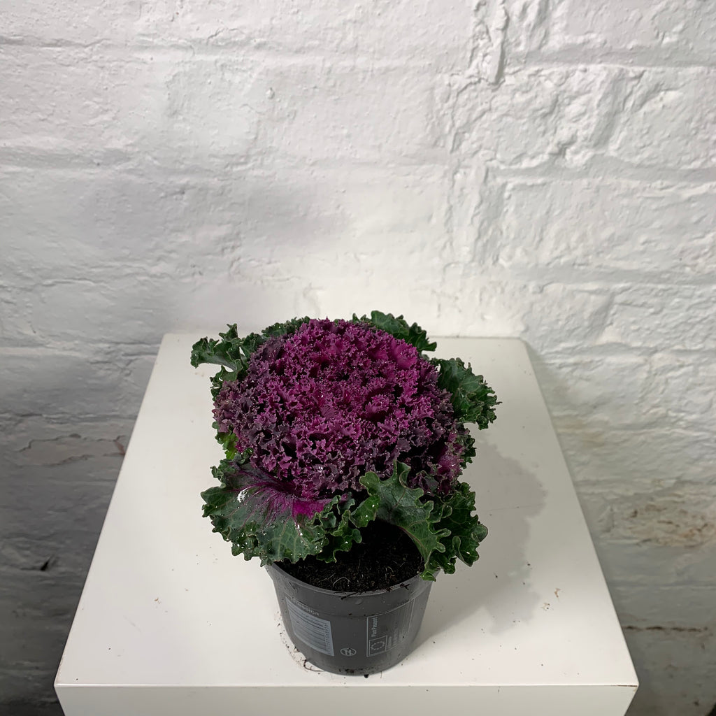 Brassica (Ornamental Cabbage)