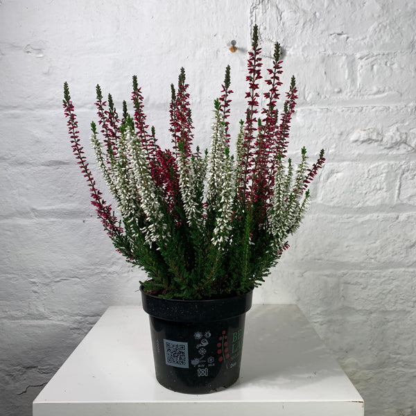 Calluna (Heather )